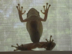 Frog_on_window